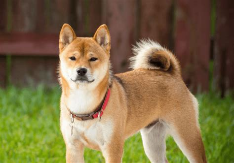 independent breeds shiba inu breed info the independent feisty