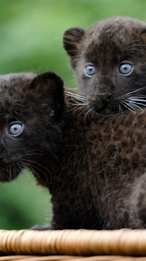 wallpaper panther cub cats kittens black cat fur
