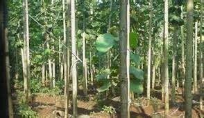 sekilas tentang pohon ulin kalimantan