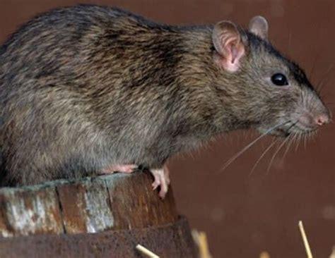 imagenes de ratas halloween eliminar ratas con remedios caseros tipos y enfermedades