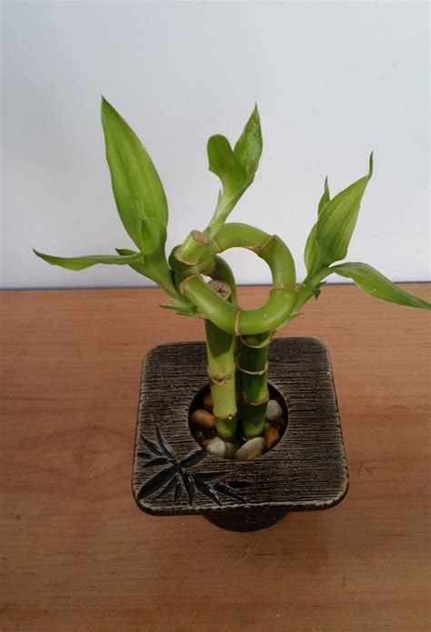 good house plant lucky bamboo indoor house plant bring good luck and good