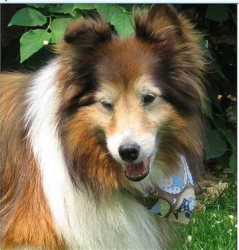 rescue illinois central illinois sheltie molly breeds picture