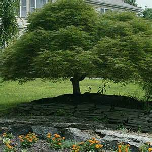 trees for small backyards japanese maples acer palmatum trees for small yards