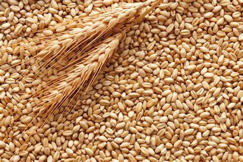 come cucinare il grano duro differenze tra grano duro e grano tenero idee green