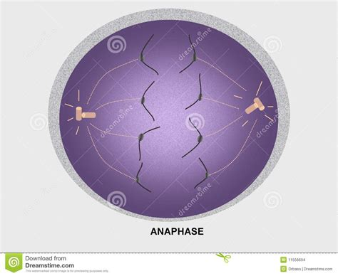 diagram of anaphase cell division anaphase stock images image 11556694