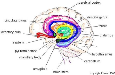 limbic system diagram what is loss of smell no smell no taste