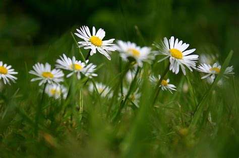 facts about daisy flowers facts about daisy flowers garden guides