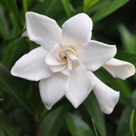 frost proof gardenia fragrant white blooming evergreen