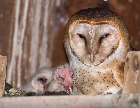 Barn Baby robin loznak photography baby barn owls in oregon