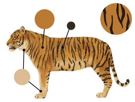 tiger color how to draw animals big cats their anatomy and patterns