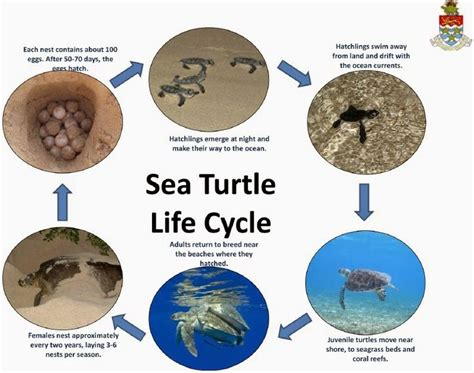 cycle of a turtle diagram 191 best images about sea theme on kinetic