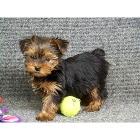 yorkie puppy scams yorkie puppy scams breeds picture