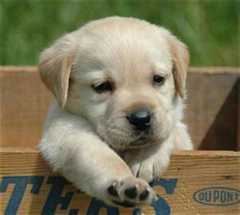 lab puppy cost how much does a labrador retriever puppy cost many