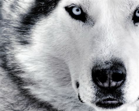 wolf husky puppies with blue eyes siberian husky high definition desktop wallpapers hd