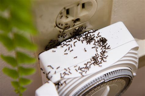 how to get rid of sugar ants in the house learn about sugar ants how to get rid of sugar ants