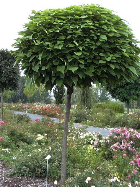 kugel trompetenbaum catalpa bignonioides nana g 252 nstig - Kugel Trompetenbaum Kaufen