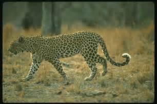 Cheetahs And Jaguars 134099 Gt Leopards Jaguars Gt Gt Animals Gt World Photos