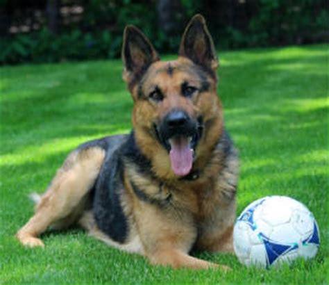 german shepherd puppies ma german shepherd puppies ma german shepherd breeder ma