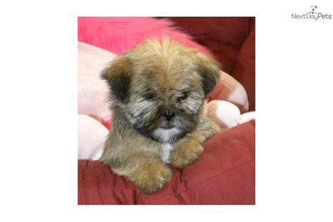 yorkie shih poo ready for adoption poodle shih tzu mixed medium coat breeds picture
