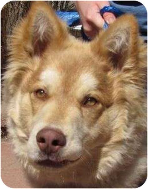 golden retriever husky mix for adoption adopted puppy co husky golden retriever mix