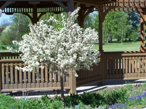 Wedding Bouquet Crabapple Tree by Sargentii Tina Crab Apple Trees Chris Bowers