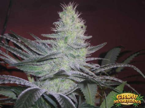 blue moonshine seeds strain review grow marijuanacom