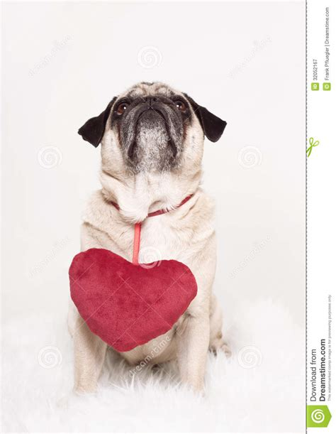 pug hearts pug s day royalty free stock photography image 32052167