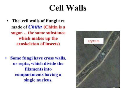 what are walls made of the study of fungi is called mycology ppt video online