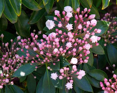 kalmia latifolia gardensonline kalmia latifolia