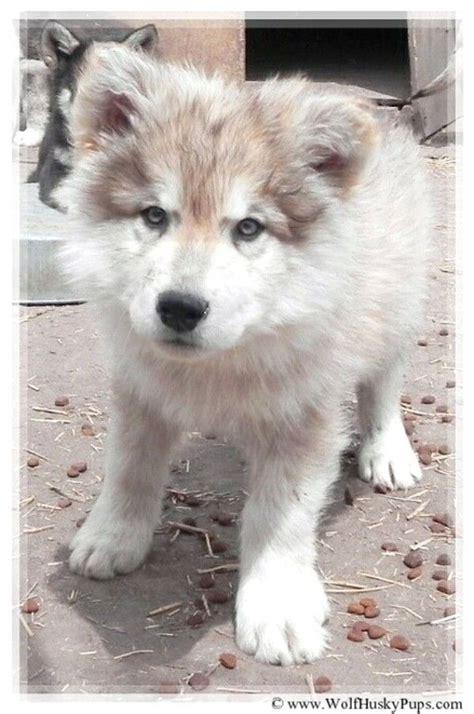 wolf malamute puppies best 20 alaskan malamute ideas on