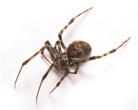 spiders in house common house spider identification removal