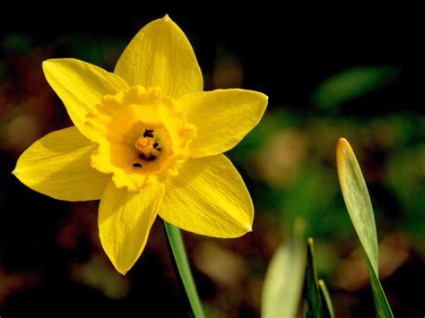 nome fiore giallo foto gratis narciso fiore giallo impianto immagine