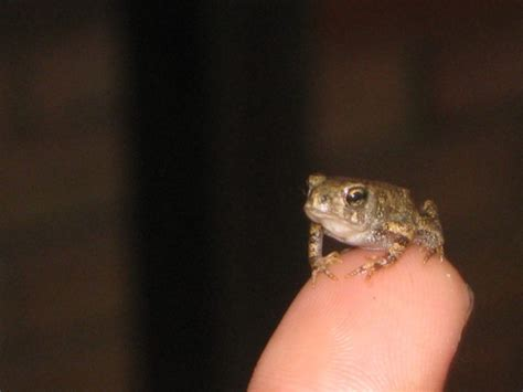 baby frog  toad season  rochester rochester