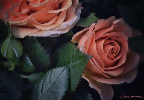 fiori color pesca sfondi pesca fiore flora petalo fiori natura