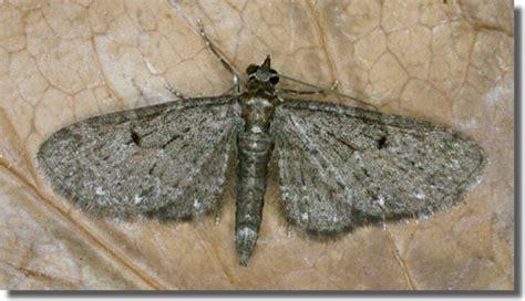 spotted pug hants moths geometridae larentiinae eupethicinii