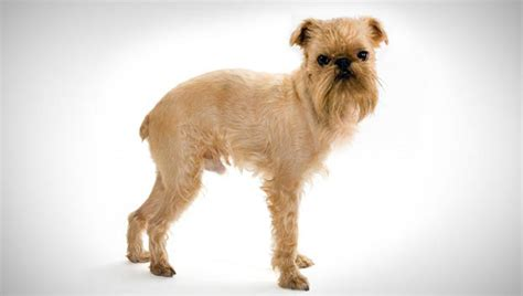griffon dogs brussels griffon small breeds dbcentral