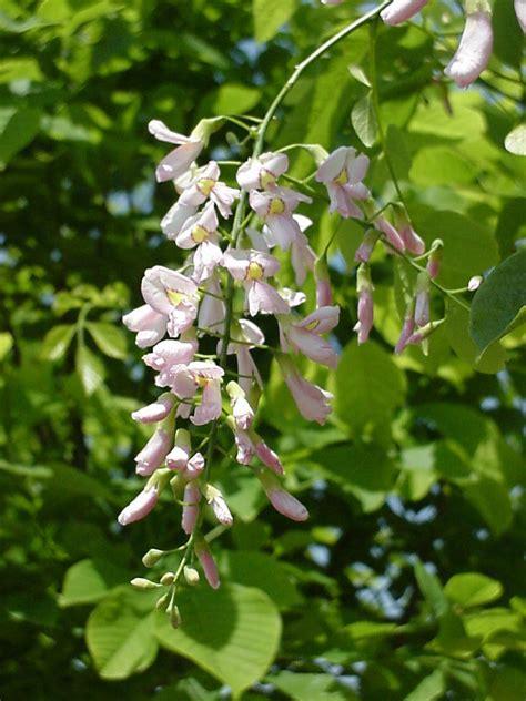 pianta ornamentale dai fiori penduli cladrastis kentukea perkins pink hess landscape