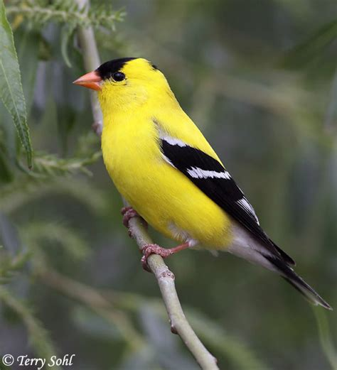 american goldfinch south dakota birds and birding