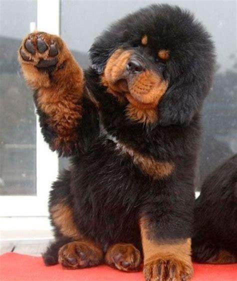 tibetan mastiff price 25 best ideas about tibetan mastiff puppy price on tibetan mastiff