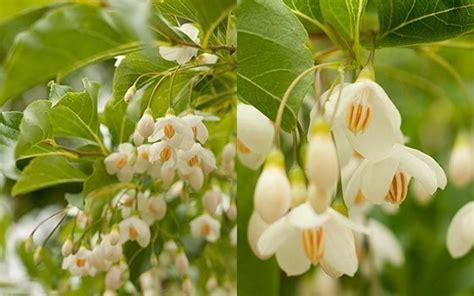 fragrant trees with white flowers flowers f14a9e81a2a9609c4a2f3397546c72ba jpg
