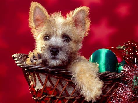 christmas wallpaper with dogs christmas dogs christmas wallpaper 13861573 fanpop
