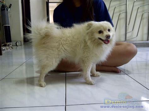 0821 617 8888 6 Nomor Cantik Simpati 0821 61788886 Kartu Perdana dunia anjing pejantan anjing pomeranian stud service sedia pejantan pomerian white kualitas