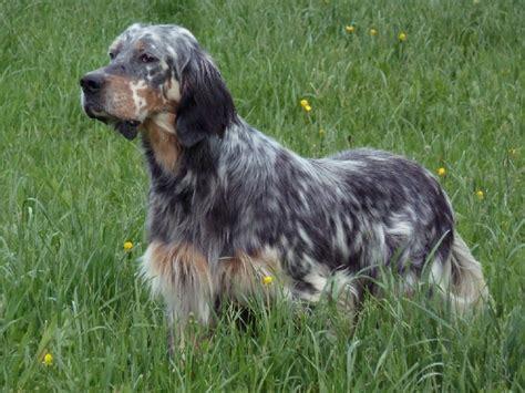 definition de setter anglais panorama des chiens les plus populaires en france