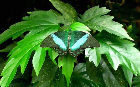 1604 green butterfly images wallpaper walops com green butterfly wallpaper 38249