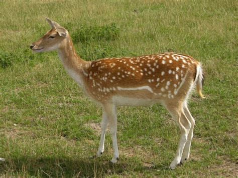 germano reale alimentazione fauna selvatica daino caccia di selezione ladoppietta
