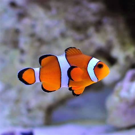 Bird Decorations For Home by Ocellaris Clownfish Amphiprion Ocellaris For Sale