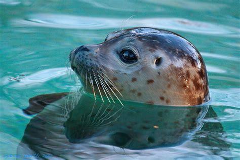 Zoo-Augsburg   Bundeskater und Bundeskatze auf Reisen Seehund