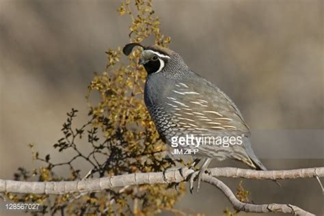 california quail a small grounddwelling bird found in the