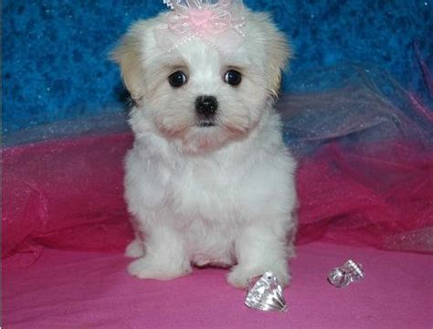 puppies for sale charleston sc maltese puppies for sale in sc breeds picture