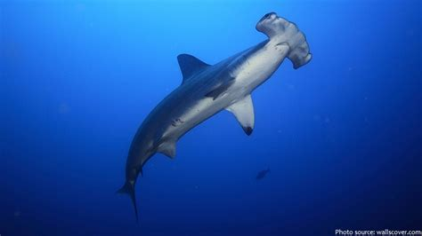 baby shark natal interesting facts about hammerhead sharks just fun facts